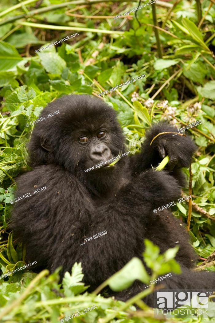 Stock Photo: Mountain gorilla (Gorilla gorilla beringei)  eating vegetation, Virunga Volcanoes NP.