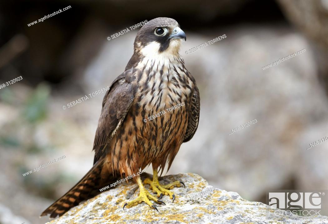 Stock Photo: Eleonora's Falcon (Falco eleonorae), Majorca, Balearic Islands, Spain.
