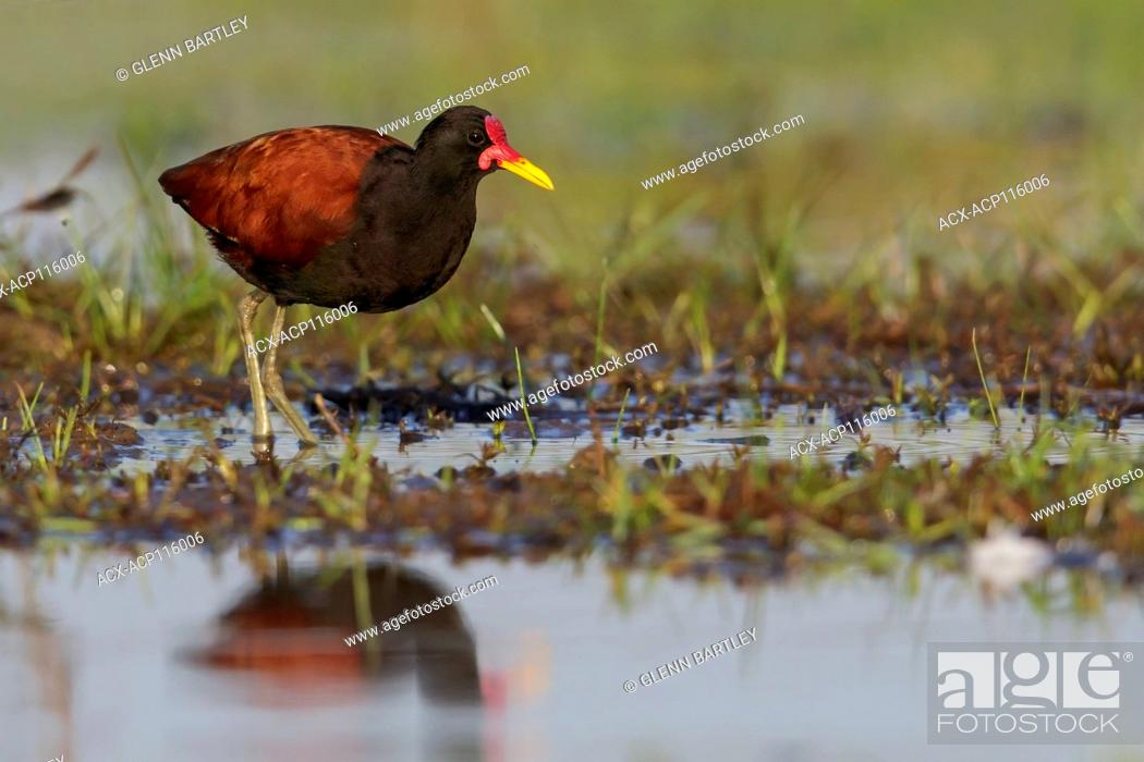 Stock Photo: Wattled Jacana (Jacana jacana) perched on the ground in the Pantanal region of Brazil.