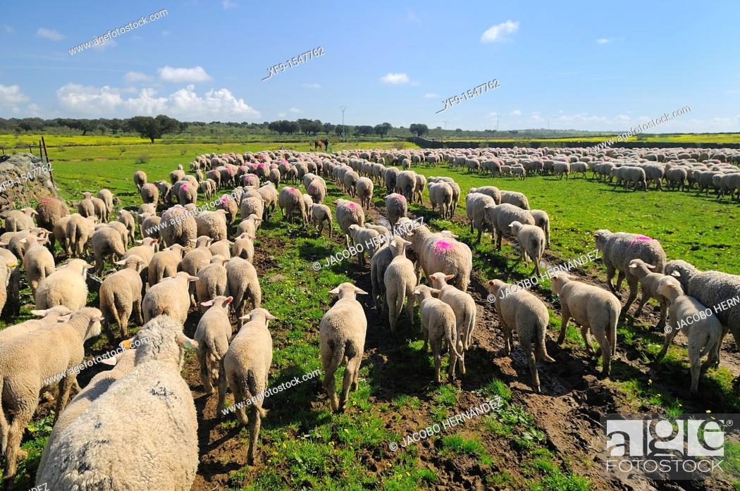 Stock Photo: Migratory flock of merino sheep. Cáceres province. Extremadura. Spain.