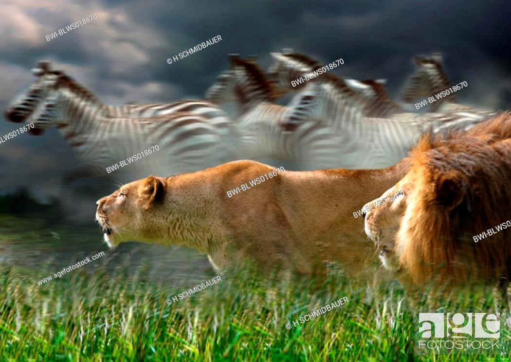 Females Do The Vast Amount Of Hunting For Prides Once A Kill Has Been Made They Re Expected To Wait Until Dominant Male Eaten Before Eating