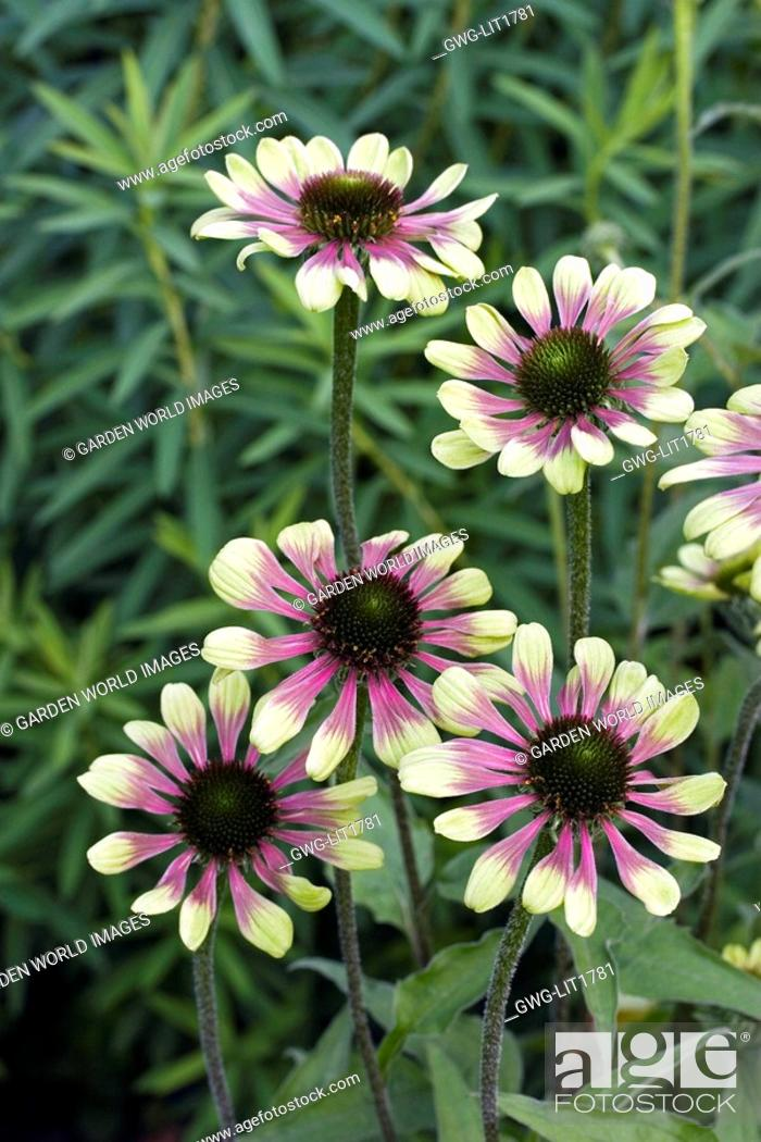 Echinacea Green Envy Stock Photo Picture And Rights