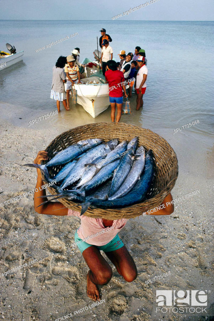 Stock Photo: Mackerel fishing. Fresh mackerel catch being unloaded from a boat. Photographed in Campeche, Mexico, on the coast of the Gulf of Mexico.