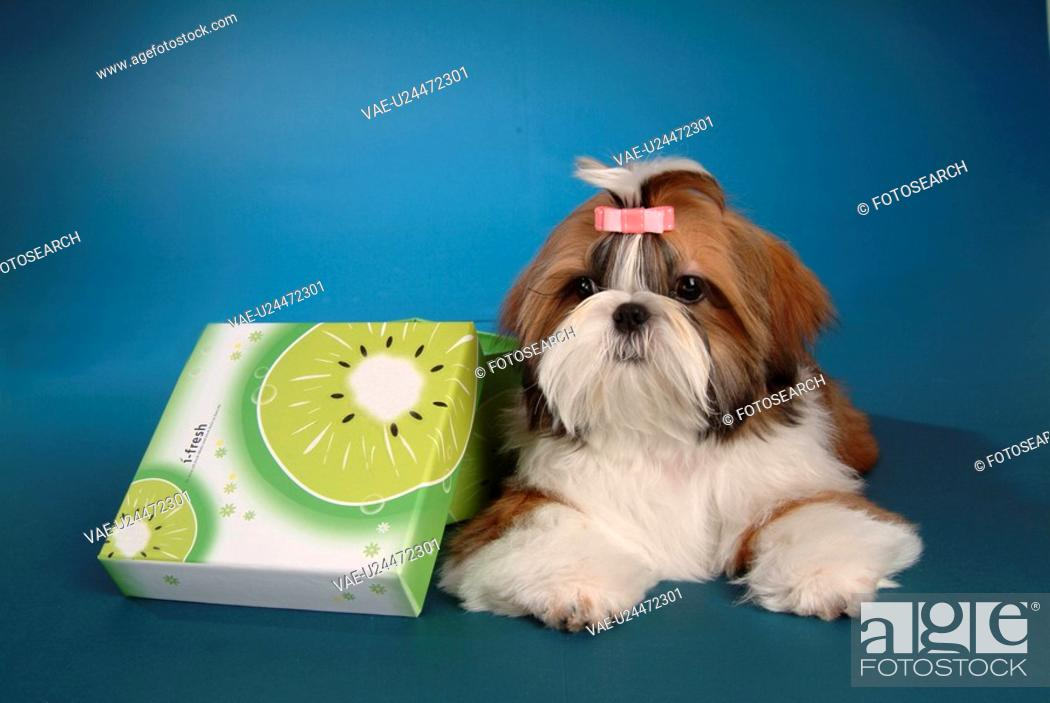 Stock Photo: posed, domestic, pose, house pet, canines, posing, shih tzu.