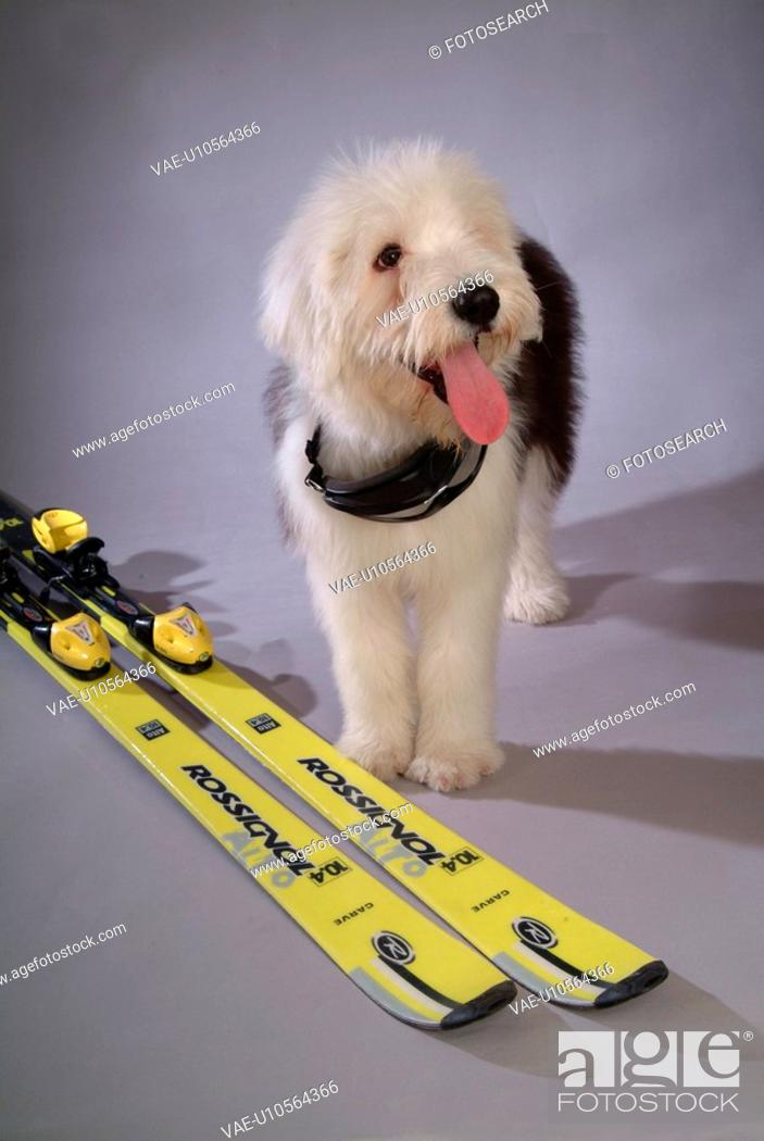 Stock Photo: pose, sheepdog, house pet, canines, domestic, old english sheepdog.