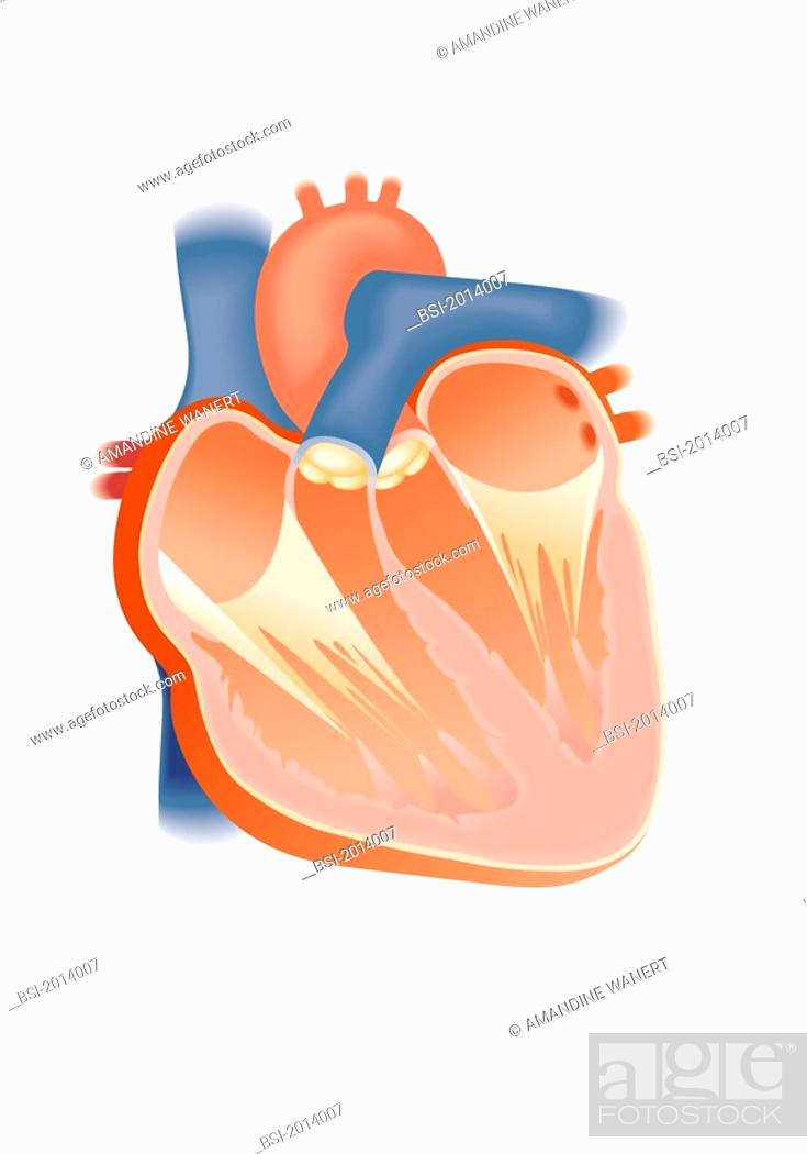 Heart Illustration Anatomy Of The Heart Anterior View Of A Frontal
