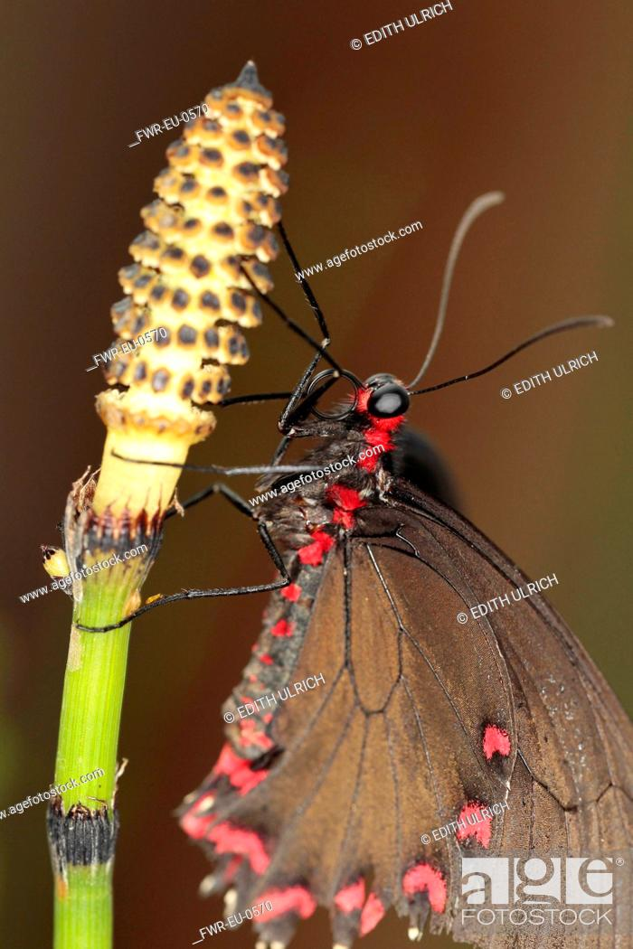 Imagen: Field horsetail, Equisetum arvense, Close up of Butterfly on a flowering stem.