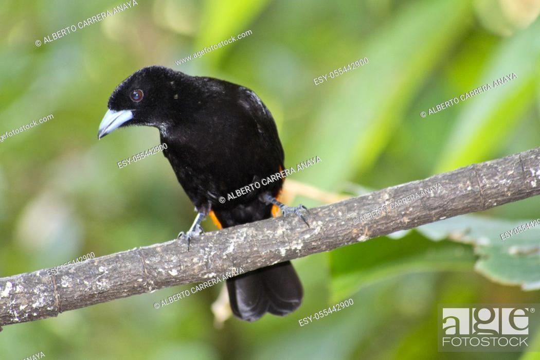 Stock Photo: Cherrie's Tanager, Ramphocelus costaricensis, Tropical Rainforest, Costa Rica, Central America, America.