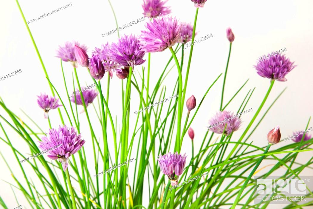 Stock Photo: Chives in Flower.