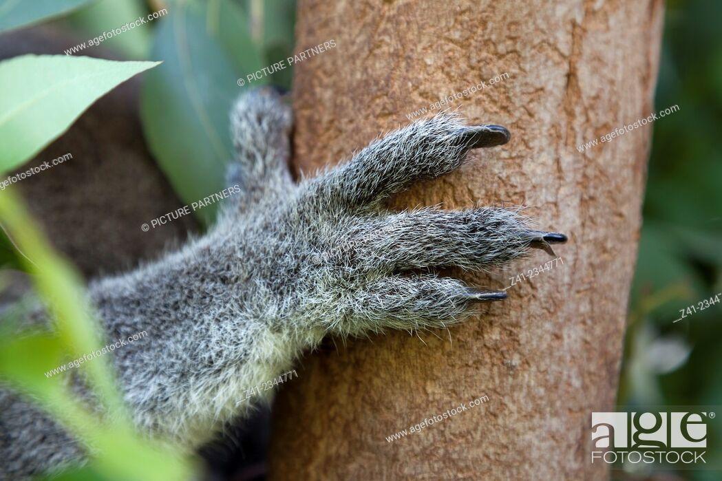 Photo de stock: Koala leg holding on to a tree.