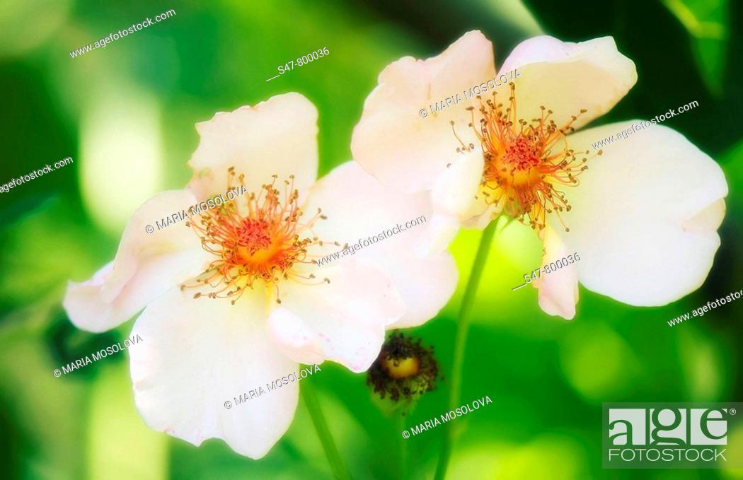 Stock Photo: White Rose Duo. Rosa hybrid. July 2008. Maryland, USA.