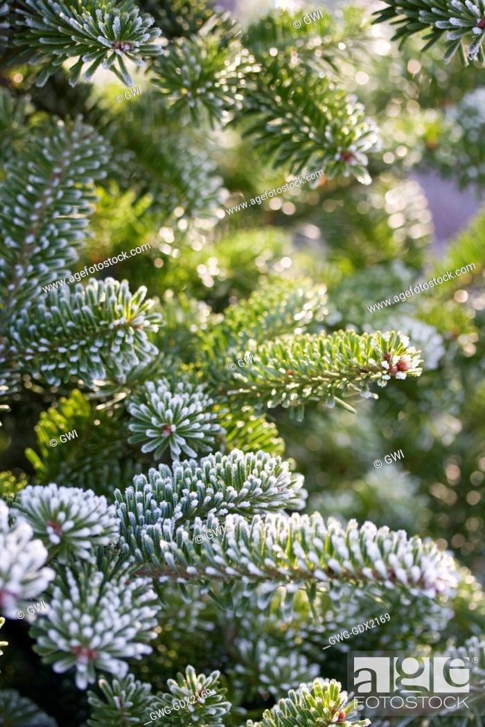 Abies Fraseri Fraser Fir The Christmas Tree Farm Hawkwell Stock