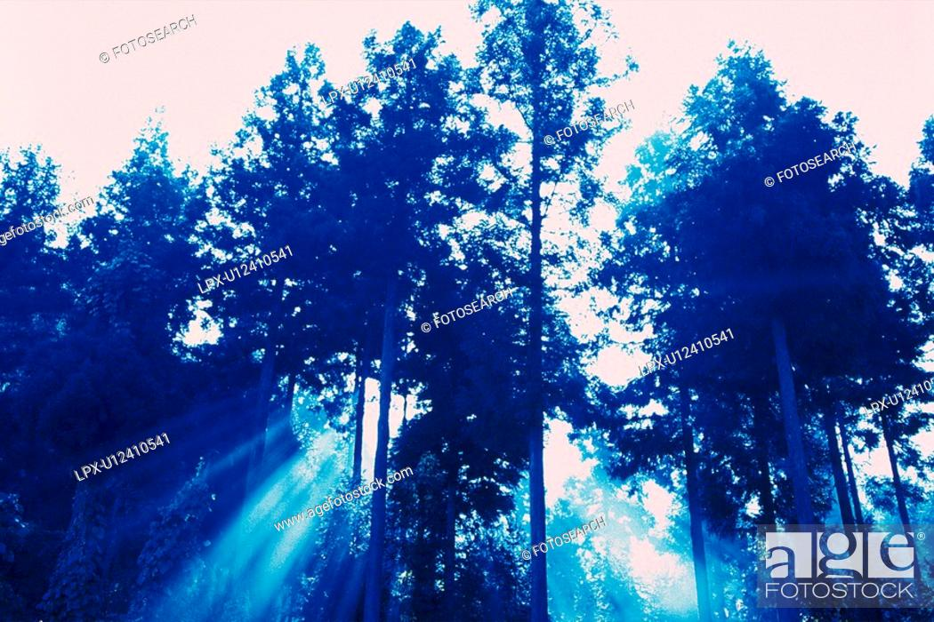 Stock Photo: Sunlight through the Trees, Low Angle View, Pan Focus.