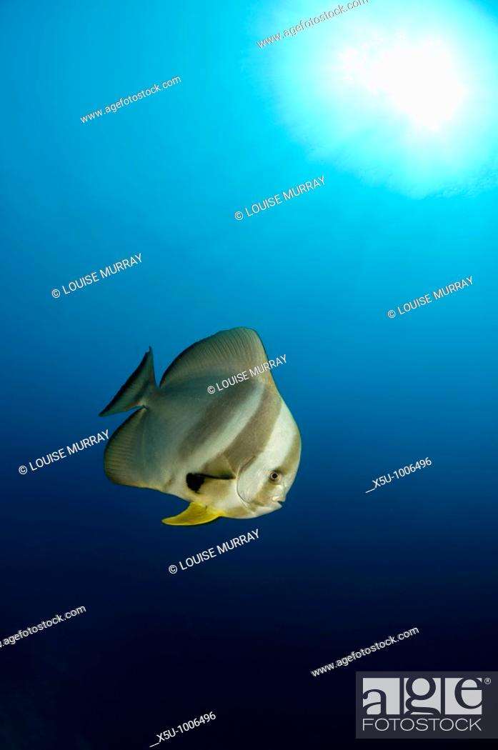 Stock Photo: Longfin batfish in Similans Islands National park, Andaman Sea, Thailand.