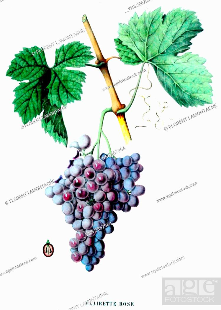 Stock Photo: Old botanical board of the grappe species Clairette rose.