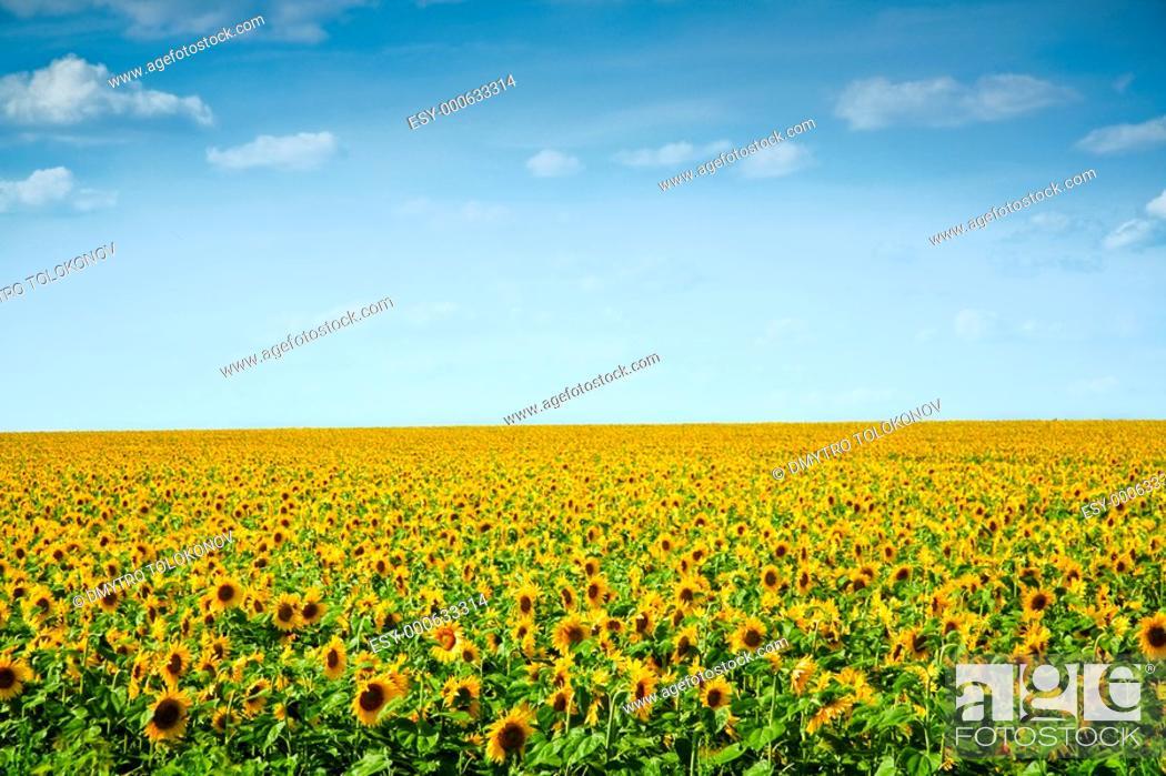 Stock Photo: Ukraine, Crimean region. sunflowers field under the blue sky.