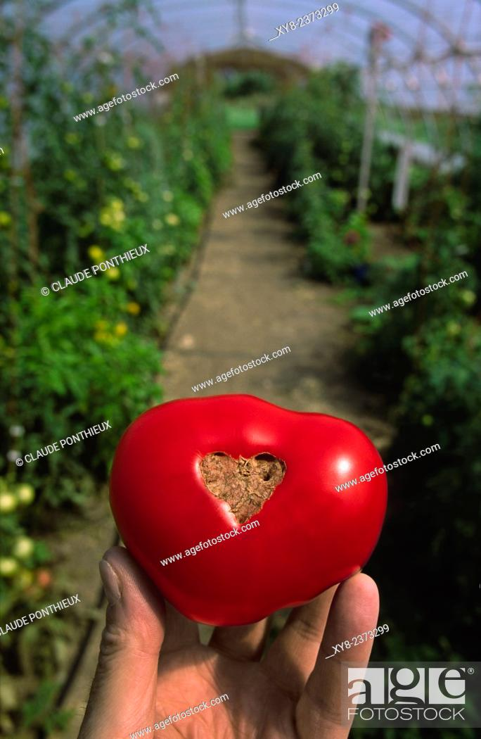 Stock Photo: Hand holding a tomato inside a greenhouse, Saint-Pascal of Kamouraska, Quebec, Canada.
