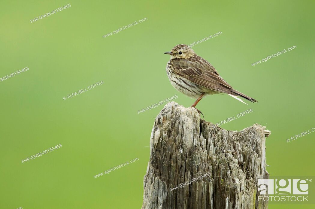 Stock Photo: Meadow Pipit (Anthus pratensis) adult, standing on post, Iceland, June.