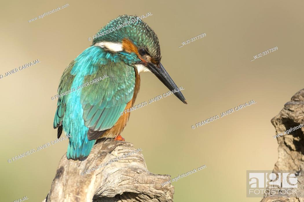 Photo de stock: KIngfisher (Alcedo atthis) on an old trunk watching the river before plummeting over a dam, Extremadura, Spain.