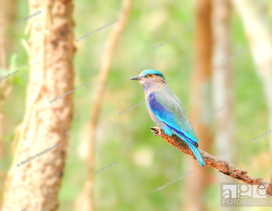 Imagen: Indian Roller (Coracias benghalensis) on the branch. They are found widely across tropical Asia.