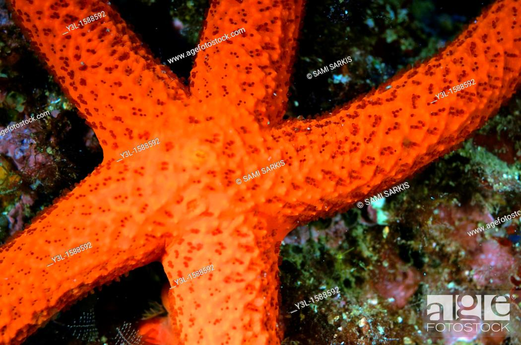 Imagen: Red Starfish Echinaster sepositus on a rock, Marseille, France close-up.