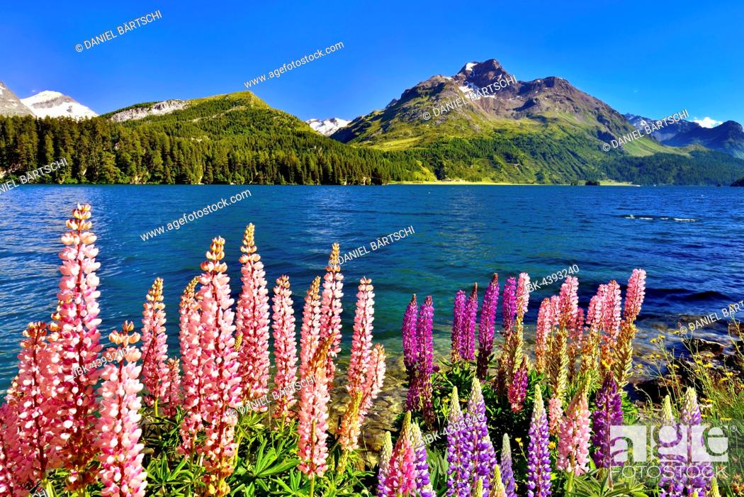 Stock Photo: Blooming lupines (Lupinus) at Lake Sils with Piz da la Margna, Engadin, Canton of Grisons, Switzerland.