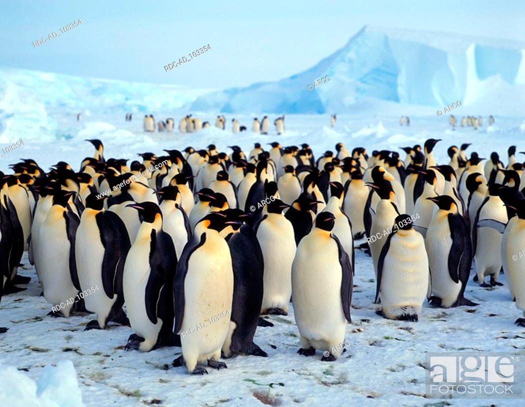 Stock Photo: Emperor Penguin colony Dawson Lambton Glacier Antartica Aptenodytes forsteri.
