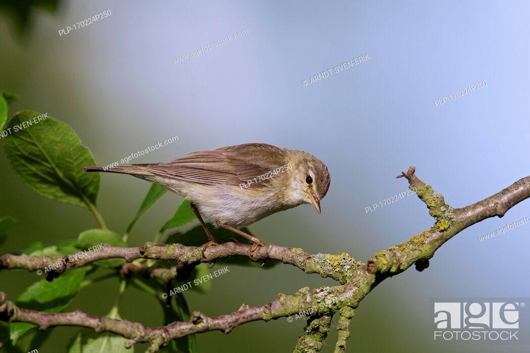 Imagen: Willow warbler (Phylloscopus trochilus) perched in tree.
