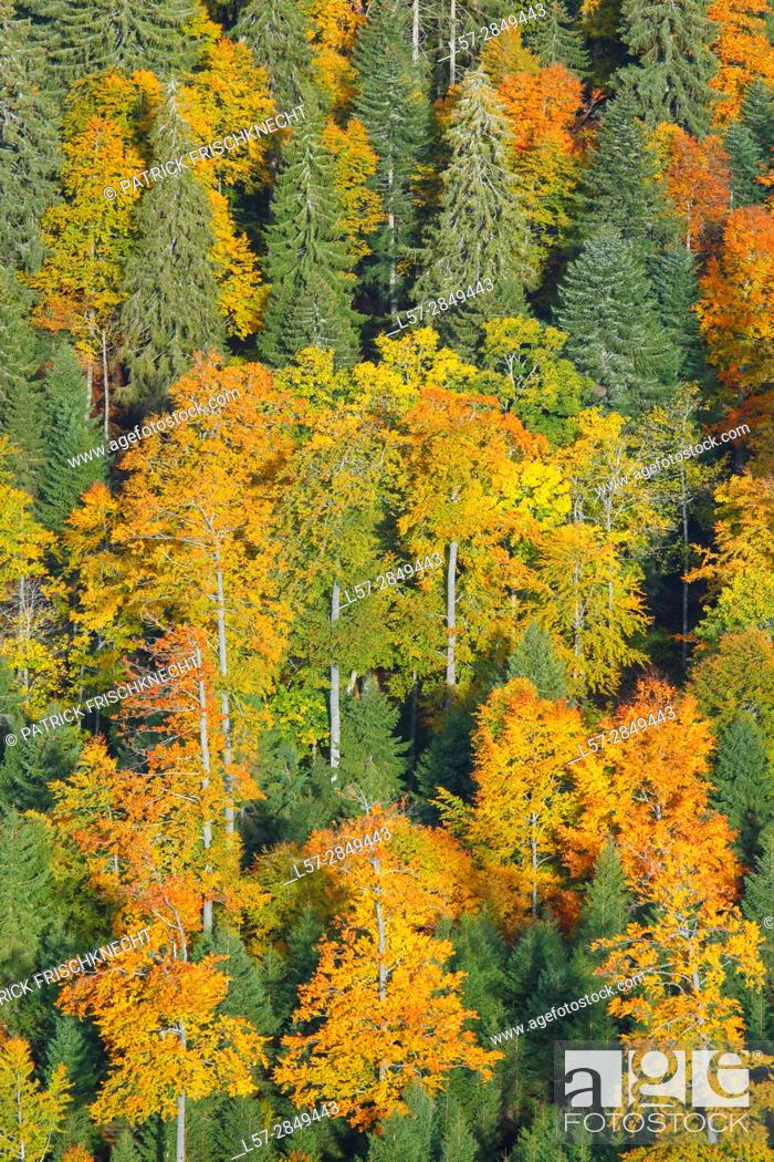 Stock Photo: beech trees in forest, Switzerland, .