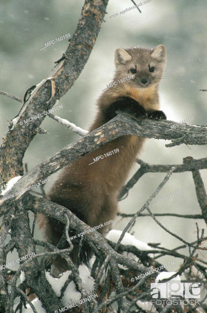 Marten Martes Americanus In Tree In The Winter Idaho Stock