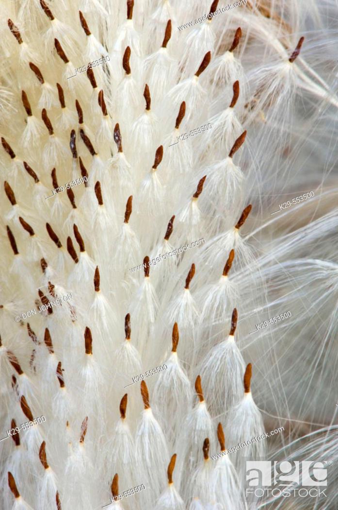 Stock Photo: Spreading dogbane (Apocynun androsaemifolium). Seeds on burst pod. Lively, Ontario.
