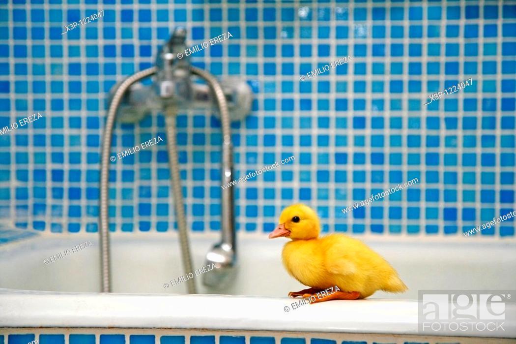 Stock Photo: Duckling in a bathroom.