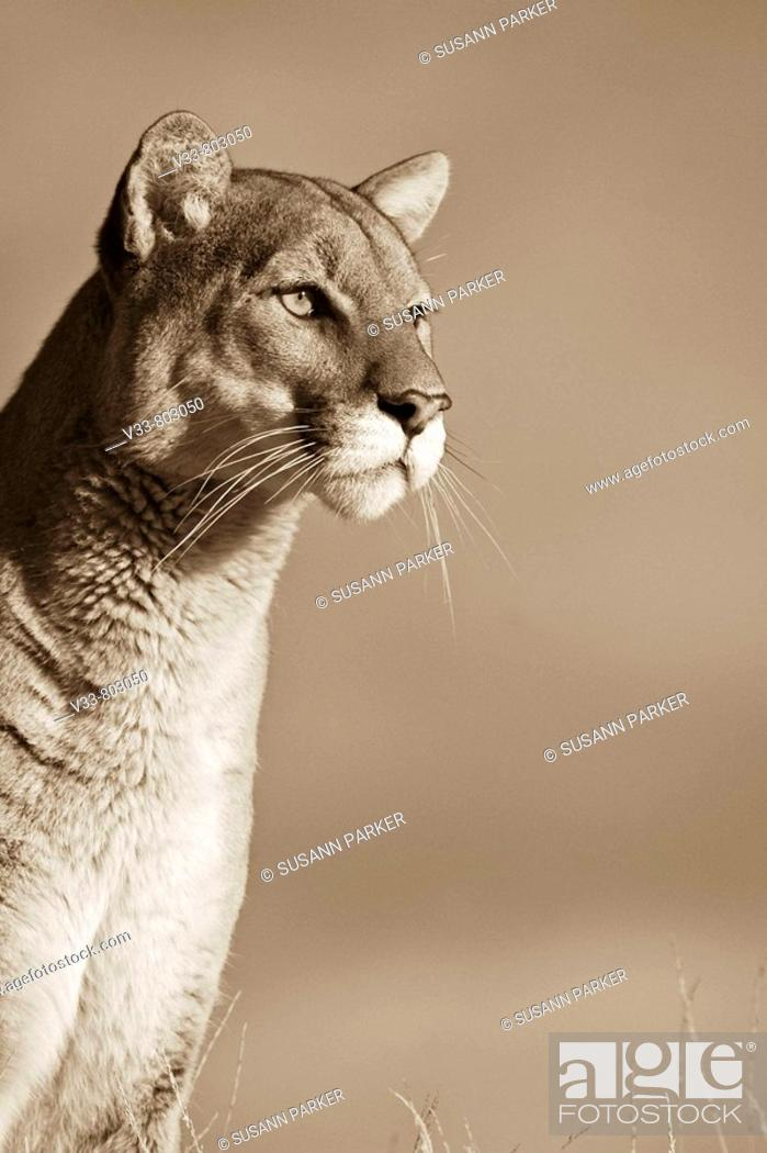 Stock Photo: Close up Expression of a Mountain Lion sepia.