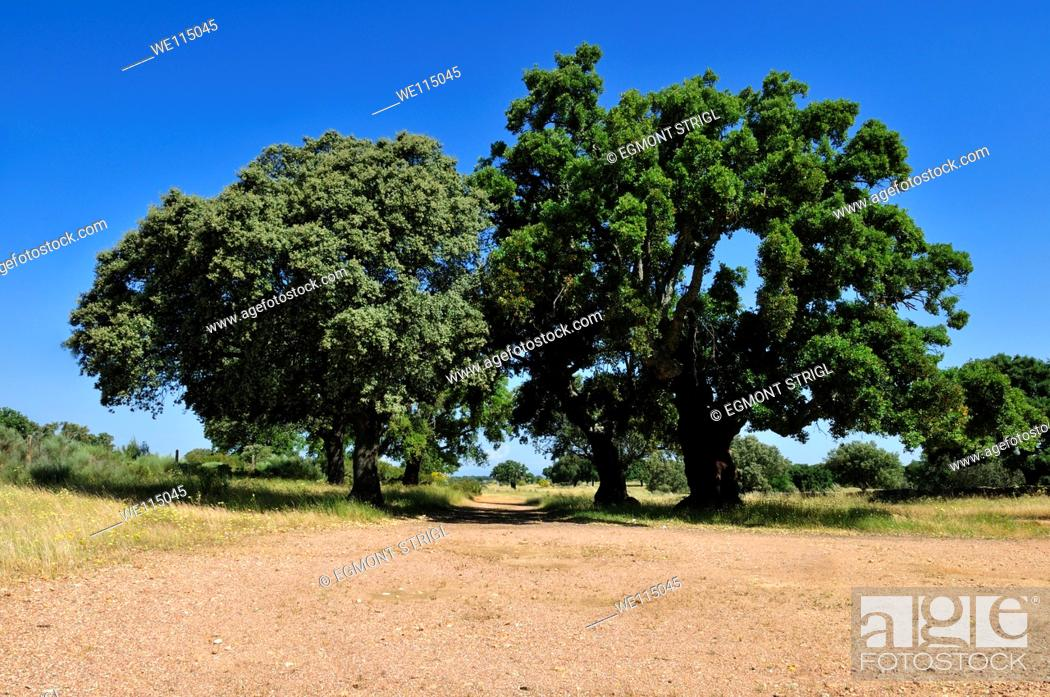 Imagen: Cork Oak Quercus Suber on a Canada Real in a typical Dehesa landscape, Extremadura, Spain, Europe.