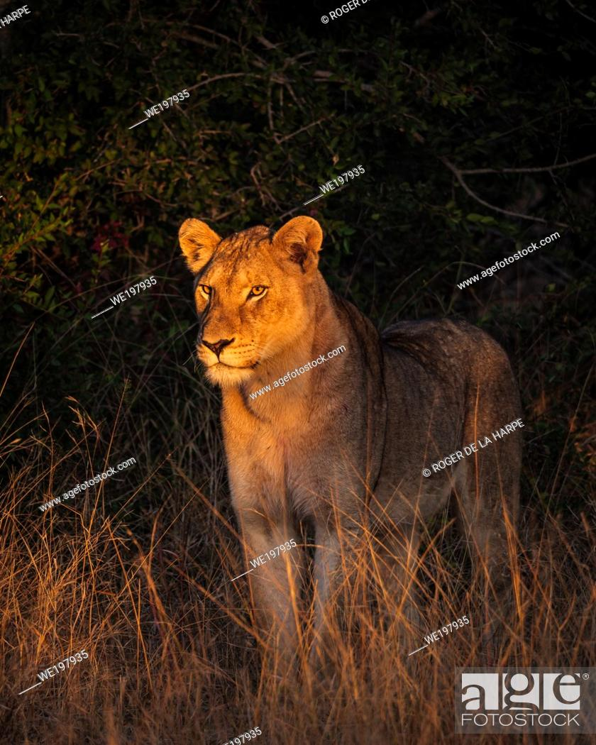 Stock Photo: Beautiful early morning light shining on a lion (Panthera leo). South Africa.