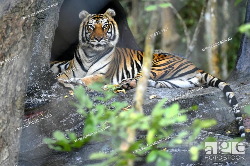 Stock Photo: Indochinese tiger at Phnom Tamao Wildlife Rescue Center, Kandal Province, Cambodia, South east Asia.