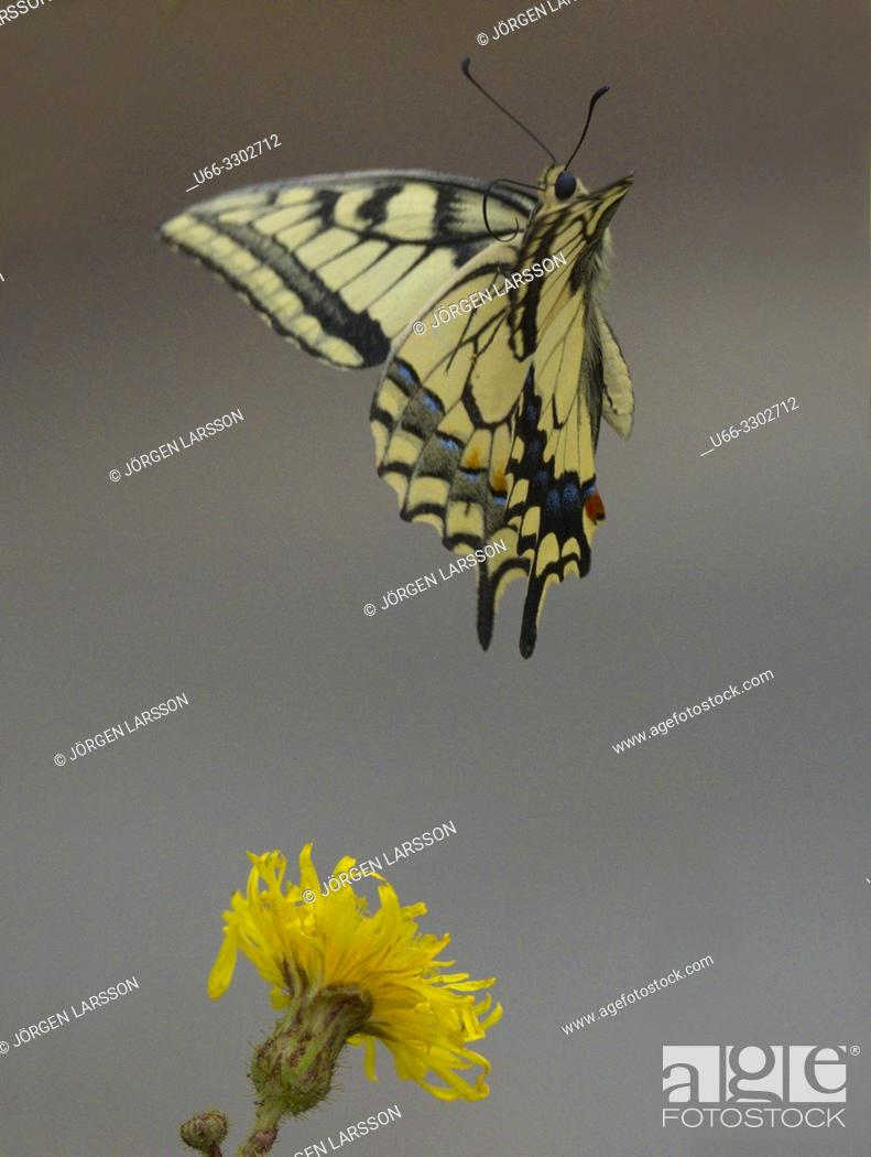 Stock Photo: Swallowtail (Papilio machaon). Navelso, Smaland, Sweden.