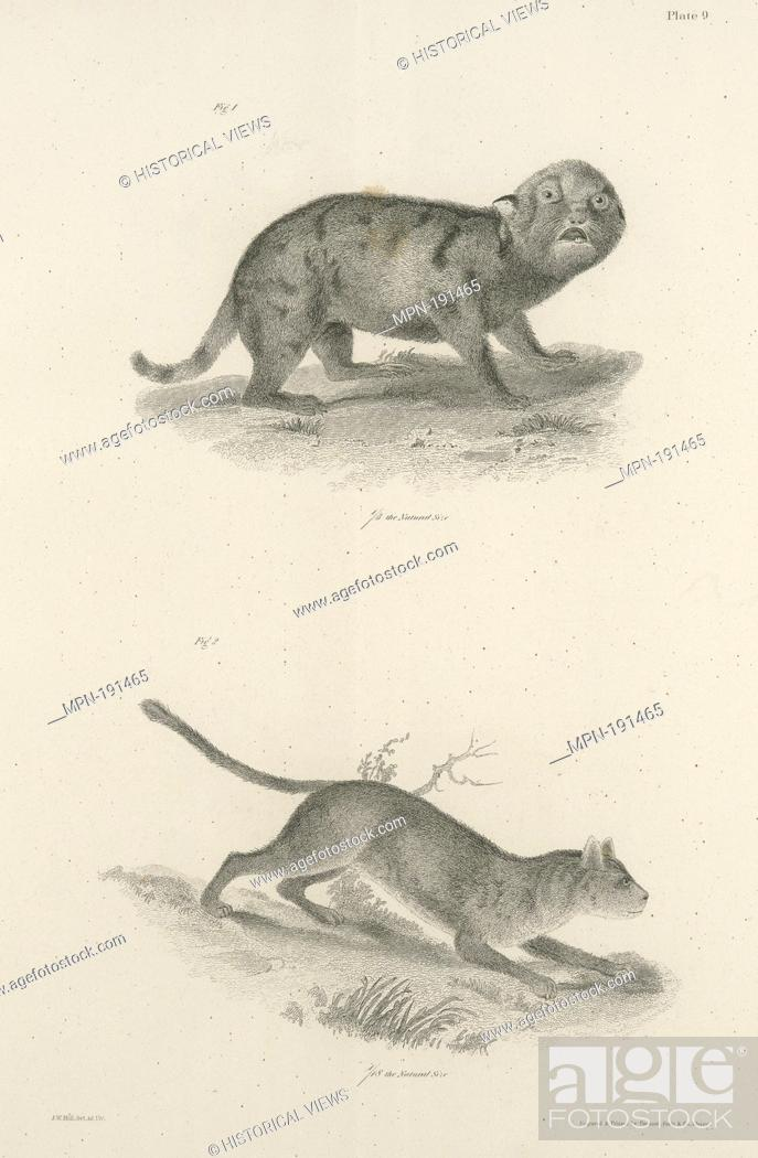 Stock Photo: 1. Whelp of the Northern Panther (Felis concolor). 2. Adul tof the same. De Kay, James E. (James Ellsworth), 1792-1851 (Author).