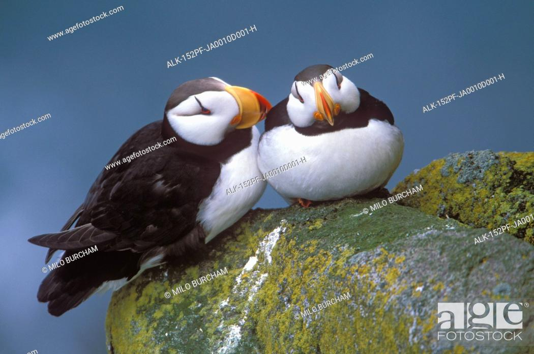 Stock Photo: Horned Puffin pair perched on ledge, Round Island, Walrus Islands State Game Sanctuary, Bristol Bay, Southwest Alaska.