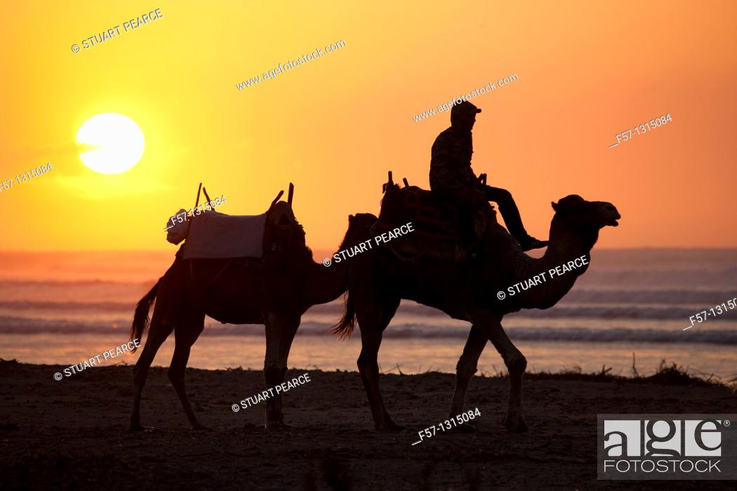 Stock Photo: Camels on Essaouira Beach, Morocco.