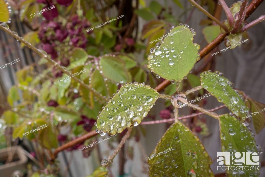 Stock Photo: The foliage and flowers of the Akebia Quinata plant, also known as the Chocolate Vine.