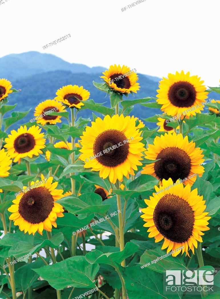 Stock Photo: flower, sunflower.