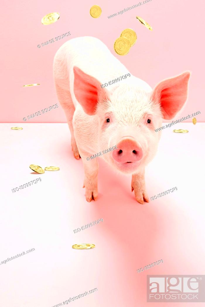 Stock Photo: Piglet under falling gold coins, studio shot.