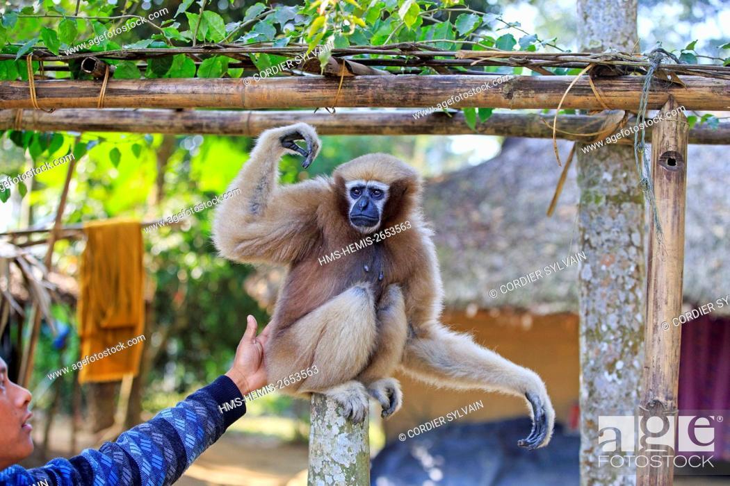 Stock Photo: India, Tripura state, Gumti wildlife sanctuary, Western hoolock gibbon (Hoolock hoolock), adult female tamed in a village.