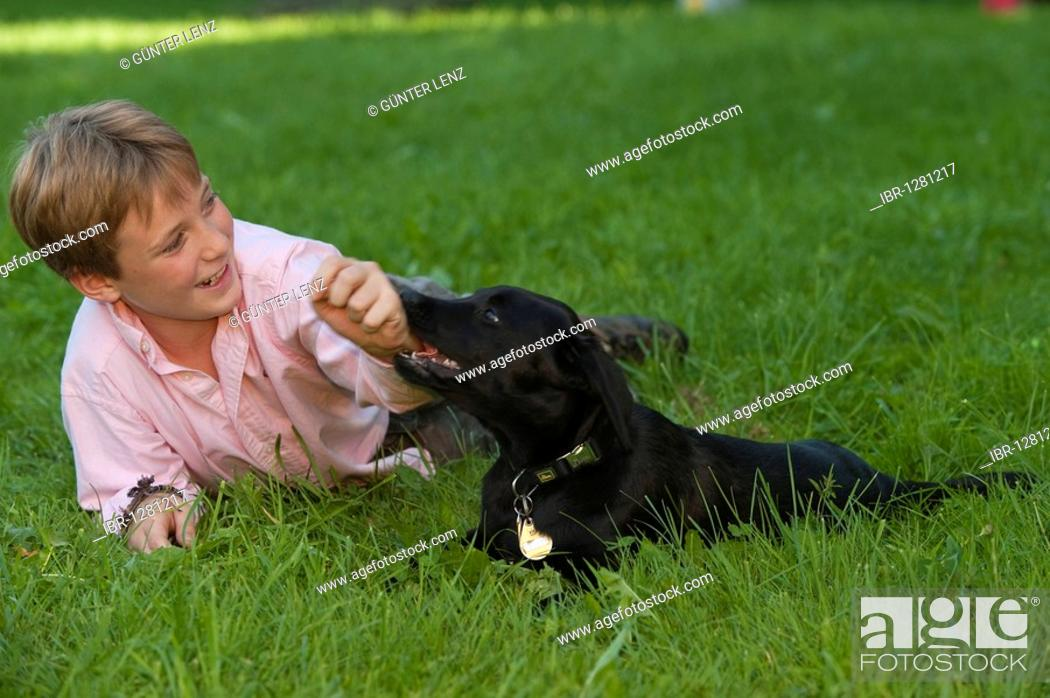 Stock Photo: Boy, 10, playing with a labrador puppy.