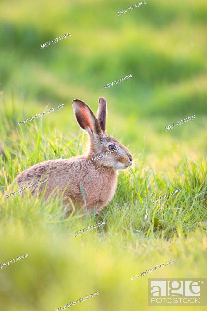 Stock Photo: European Brown HARE - feeding on grass (Lepus capensis europaeus).