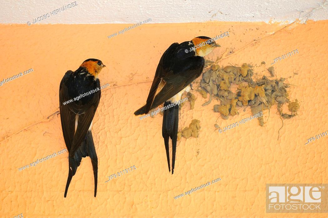 Stock Photo: Red-rumped Swallow (Cecropis daurica) Badajoz. Extremadura. Spain.