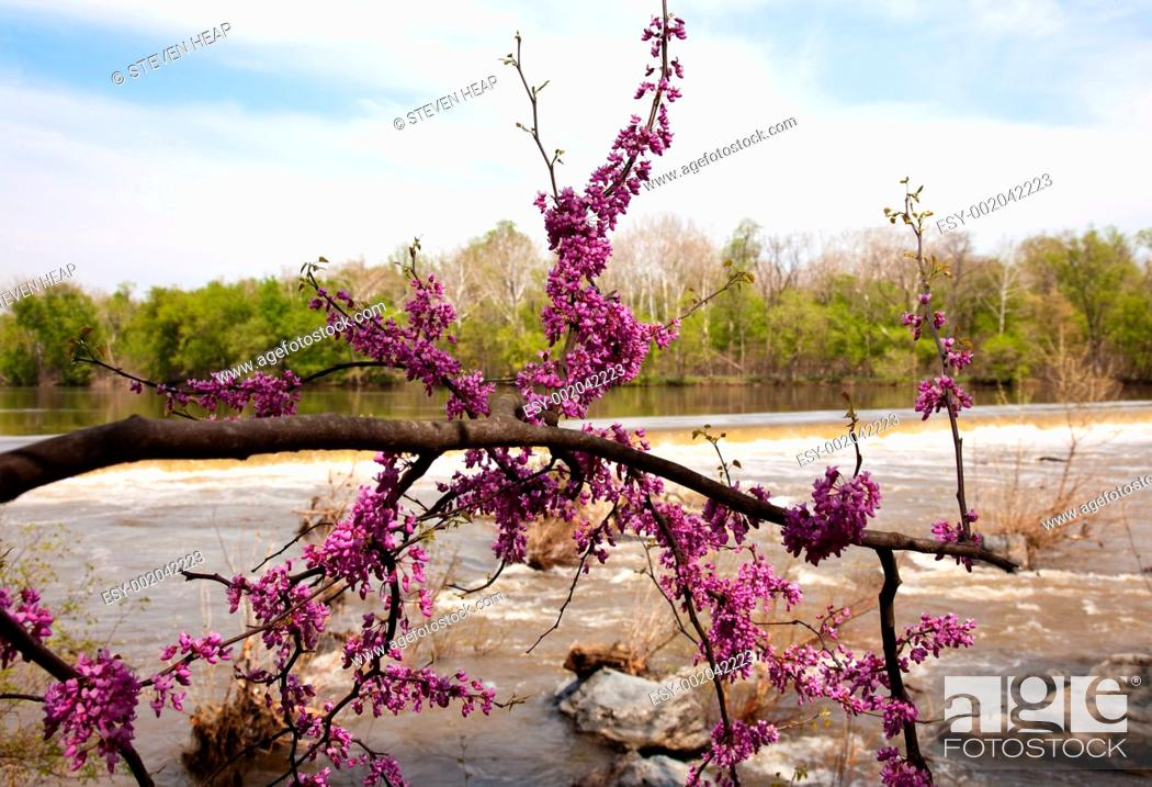 Stock Photo: Close-up of red blossoms by Potomac Dam.