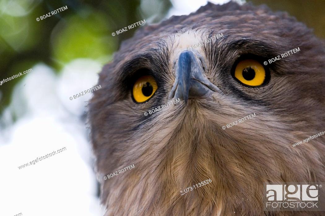 Stock Photo: Short toed eagle - portrait.
