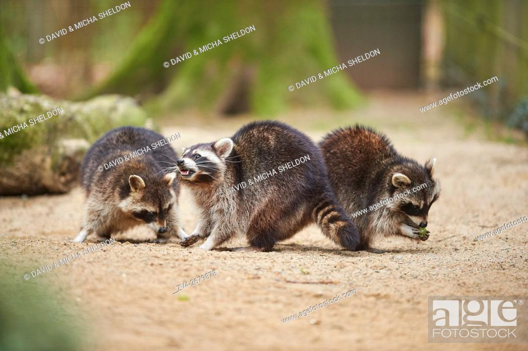 Stock Photo: Close-up of common raccoon (Procyon lotor) in spring.